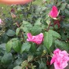 Rosa 'Blessings' (Rose 'Blessings')