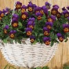 Viola 'Avalanche Bronze Lavender Wing' (Pansy 'Avalanche Bronze Lavender Wing')