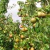 Pyrus communis 'Beurre Hardy' (Pear 'Beurre Hardy')