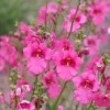 Diascia barberae 'Ruby Field'  (Twinspur 'Ruby Field' )