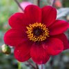 Dahlia 'Bishop of Auckland' (Dahlia 'Bishop of Auckland')