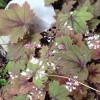 X Heucherella 'Sweet Tea' (Foamy bells 'Sweet Tea')