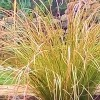 Carex testacea 'Prairie Fire'  (Orange New Zealand sedge 'Prairie Fire'  )