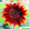 Helianthus annuus 'Prado Red' (Sunflower 'Prado Red')