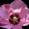 Hibiscus syriacus 'Pink Giant'