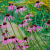 Echinacea pallida  (Pale purple coneflower)