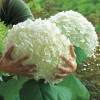 Hydrangea arborescens 'Incrediball' (Hydrangea 'Incrediball')
