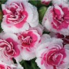 Dianthus 'Strawberries and Cream'  (Pink 'Strawberries and Cream' )