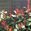 Photinia x fraseri 'Little Red Robin' (Christmas berry 'Little Red Robin')