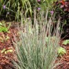 Schizachyrium scoparium 'Prairie Blues' (Little bluestem 'Prairie Blues')