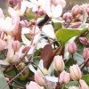 Clematis armandii 'Apple Blossom' (Clematis 'Apple Blossom')