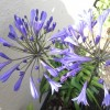 Agapanthus praecox subsp. orientalis (African blue lily )