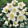 Helleborus niger 'HGC Jacob'  (Christmas rose 'HGC Jacob')