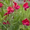 Lathyrus odoratus 'King Edward VII' (Sweet pea 'King Edward VII')