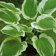 Hosta 'Blazing Saddles'