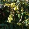 Mahonia x media 'Winter Sun' (Oregon grape 'Winter Sun')