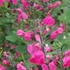 Salvia microphylla 'Pink Blush'