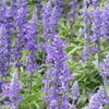 Salvia pratensis 'Rhapsody in Blue'