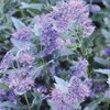 Caryopteris x clandonensis 'First Choice'