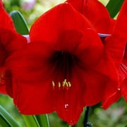 Hippeastrum 39 royal red 39 amaryllis care plant varieties for Amaryllis royal red entretien