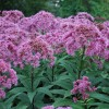 Eupatorium maculatum (Atropurpureum Group) 'Purple Bush'  (Joe-pye weed 'Purple Bush' )