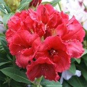 rhododendron 39 red jack 39 care plant varieties pruning advice. Black Bedroom Furniture Sets. Home Design Ideas