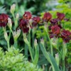 Iris 'Red Zinger'  (Iris 'Red Zinger' )