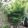 Cut-leaved Japanese maple 'Green Globe' (Acer palmatum var. dissectum 'Green Globe')