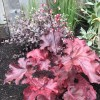 Heuchera 'Fire Chief' (Alum root 'Fire Chief')