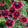 Rudbeckia hirta 'Cherry Brandy' (Black-eyed susan 'Cherry Brandy')