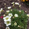Saxifraga 'Apple Blossom'  (Saxifrage 'Apple Blossom' )
