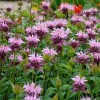 Monarda 'Beauty of Cobham' (Bergamot 'Beauty of Cobham')
