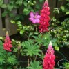 Lupinus 'Red Rum' (Lupin 'Red Rum' )