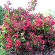Weigela 'Red Prince' Care Plant Varieties & Pruning Advice