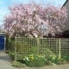 Prunus 'Accolade' (Cherry 'Accolade')