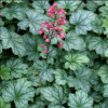 Heuchera 'Paris' (Alum root 'Paris')