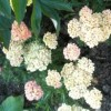 Achillea Desert Eve Series (Yarrow Desert Eve Series)