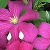 Clematis 'Remembrance'