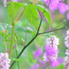 Thalictrum 'Black Stockings' (Rue 'Black Stockings')