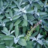 Salvia officinalis (Sage)