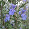 Rosmarinus officinalis 'Miss Jessopp's Upright' (Rosemary 'Miss Jessopp's Upright')