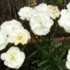 Dianthus 'Whitesmith'  (Border carnation 'Whitesmith' )