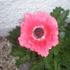 Papaver orientale 'Burning Heart' (Oriental poppy 'Burning Heart')