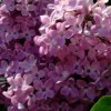 Syringa x hyacinthiflora 'Esther Staley' (Lilac 'Esther Staley')