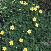 Potentilla fruticosa 'Longacre Valley' (Shrubby cinquefoil 'Longacre Valley')