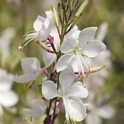 Gaura lindheimeri 'White Fountain'
