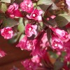 Weigela florida 'Minor Black' (Weigela 'Minor Black')