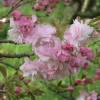 Prunus 'Pink Perfection' (Cherry 'Pink Perfection')