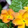 Primula 'Butterscotch'