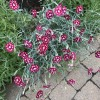 Dianthus 'Waithman Beauty'  (Pink 'Waithman Beauty' )